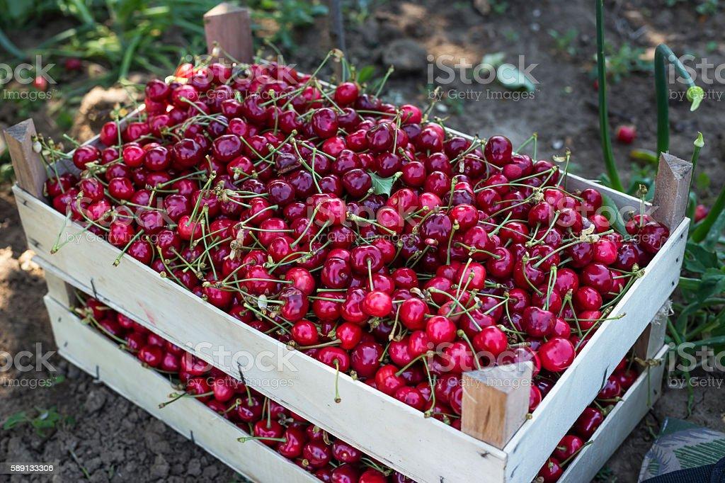 Fresh & Delicious Cherries stock photo