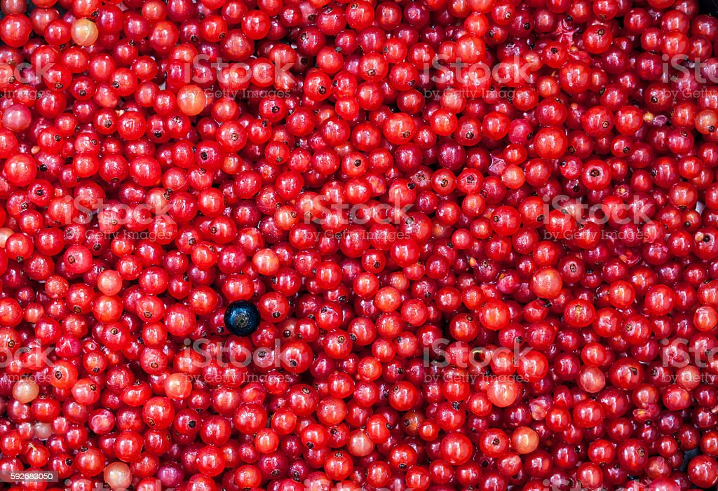 Fresh delicious organic red currant as a background stock photo