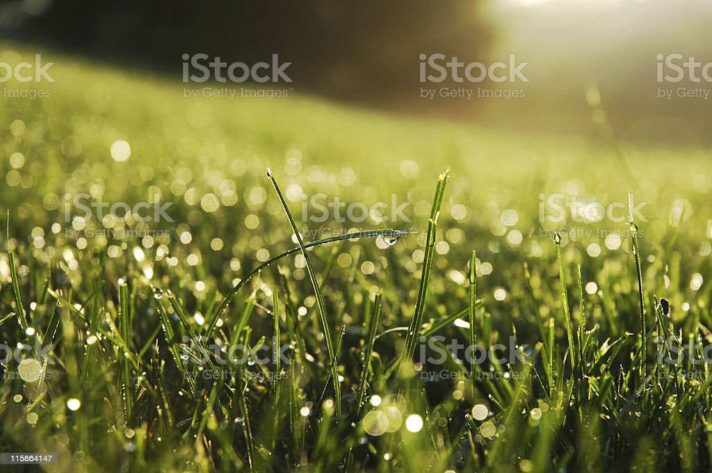 Fresh dew drops on the ends of some green blades of grass stock photo