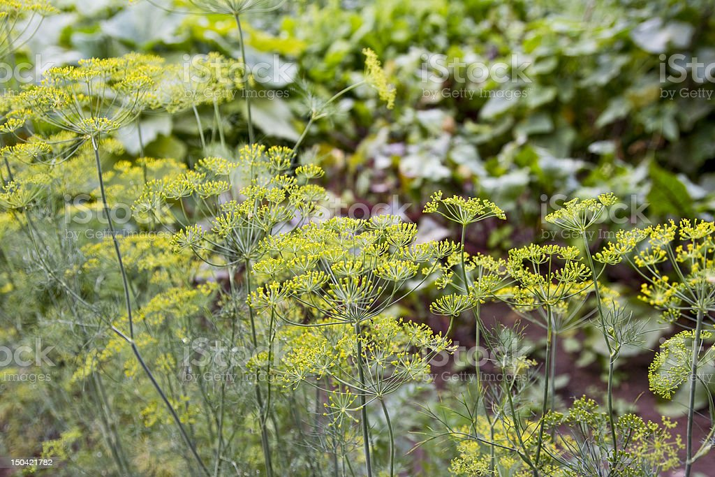 fresh dill growing royalty-free stock photo