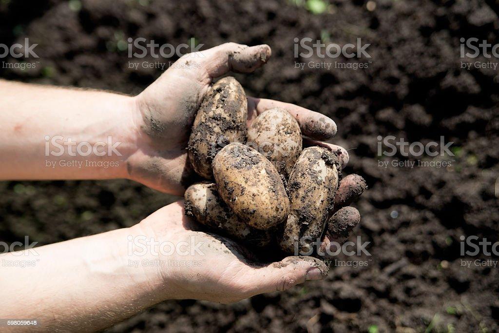 Fresh dug potatoes in hands. Harvest stock photo