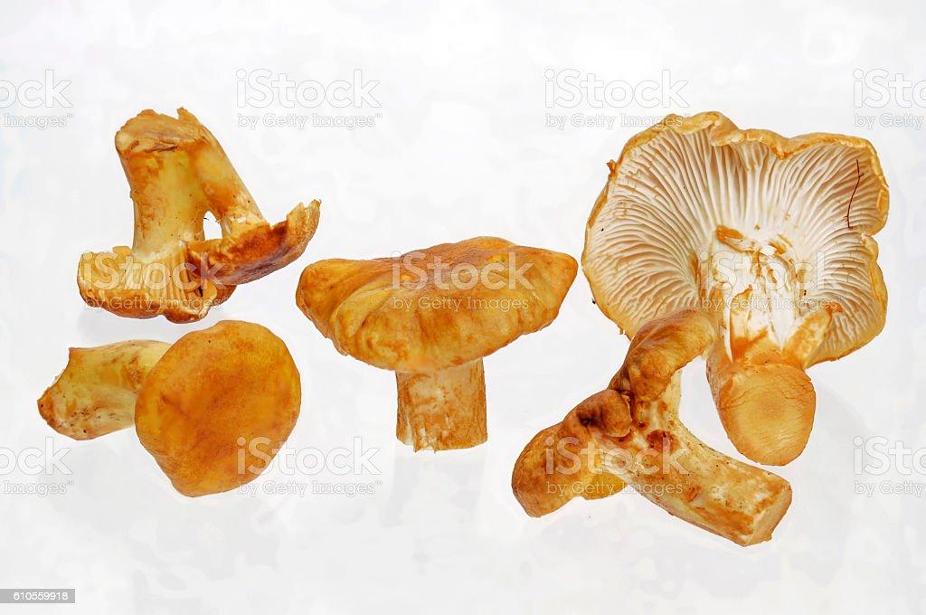 fresh edible chanterelles for cropping stock photo