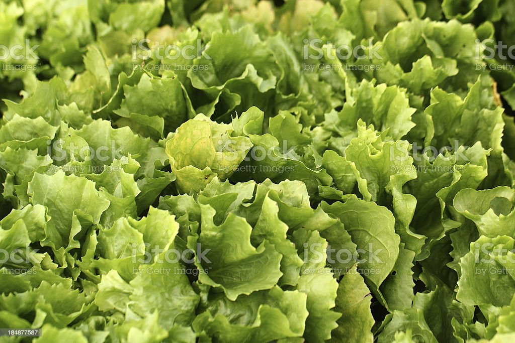 Fresh escarole royalty-free stock photo