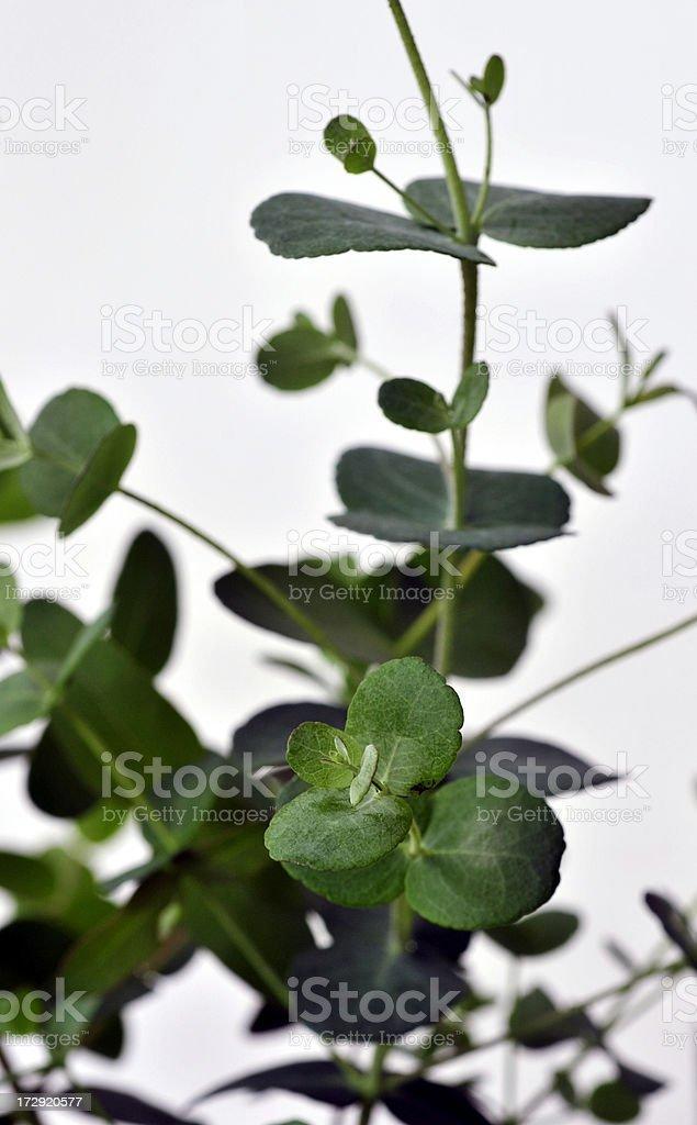 Fresh Eucalyptus royalty-free stock photo