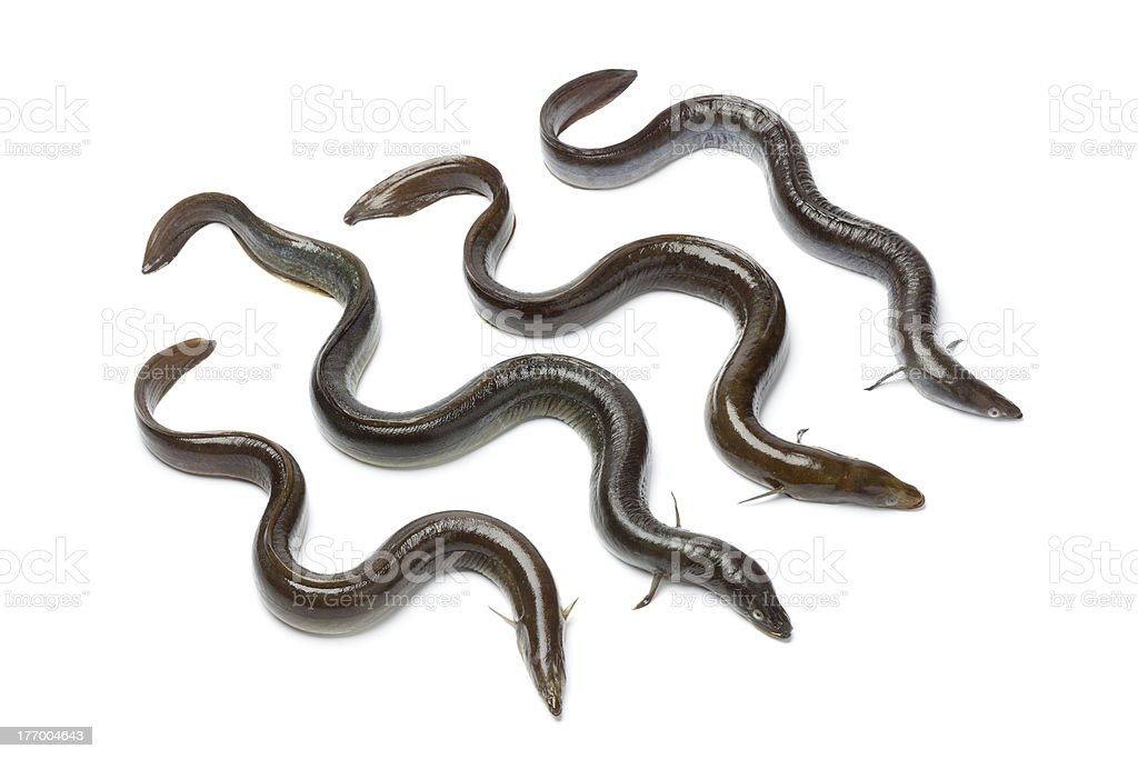 Fresh  European eel stock photo