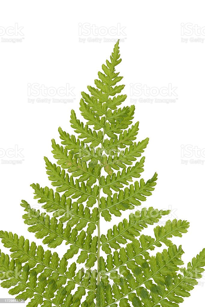 fresh fern leaf isolated stock photo