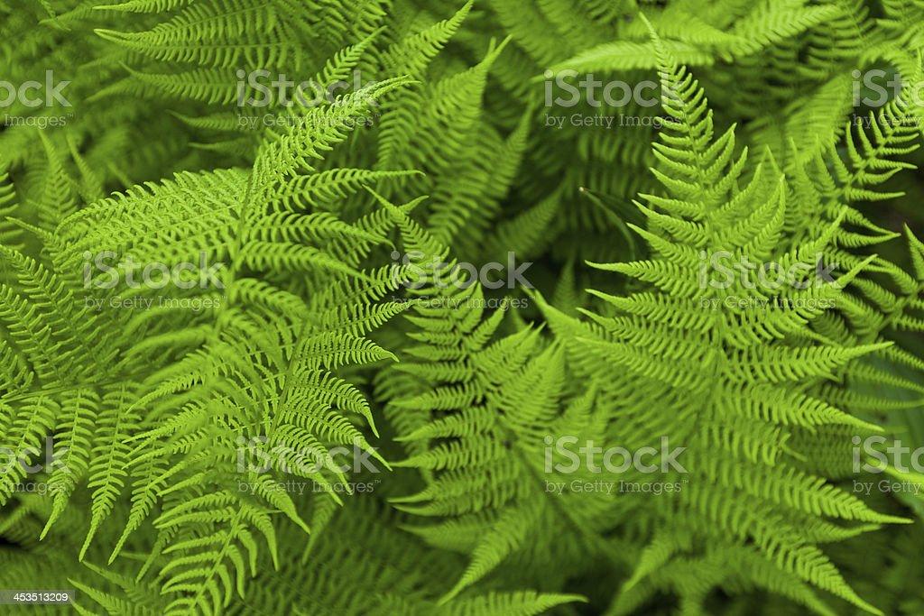 Fresh fern royalty-free stock photo