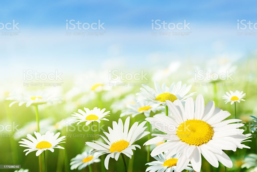 A fresh field of flowering daises stock photo