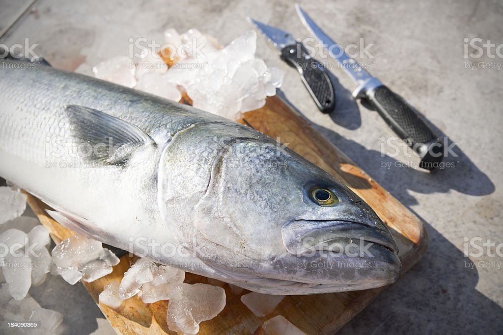 Fresh fish ready to clean, Anoplopoma fimbria stock photo