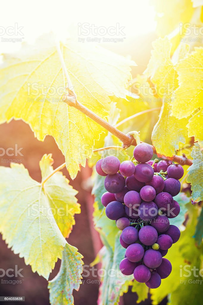 Fresh french ripe vine grape close-up under sunlight in summer stock photo