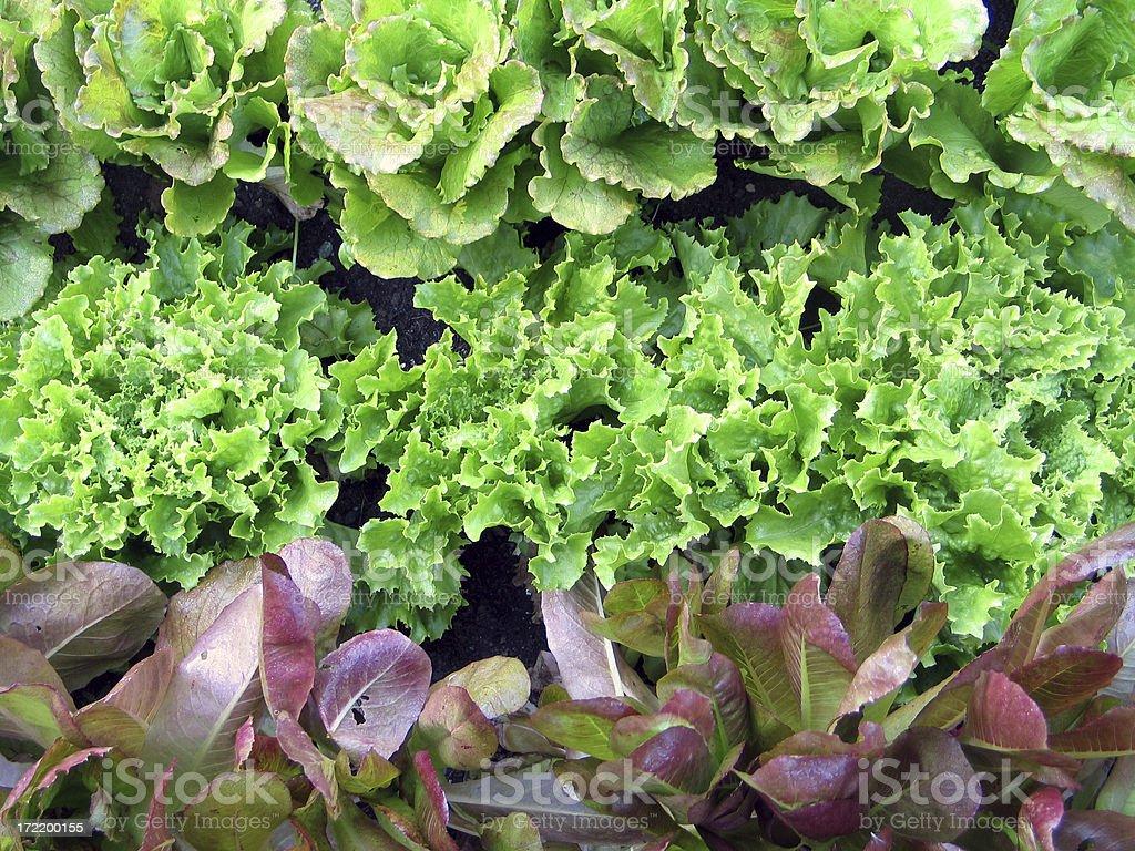 Fresh Garden Lettuce royalty-free stock photo