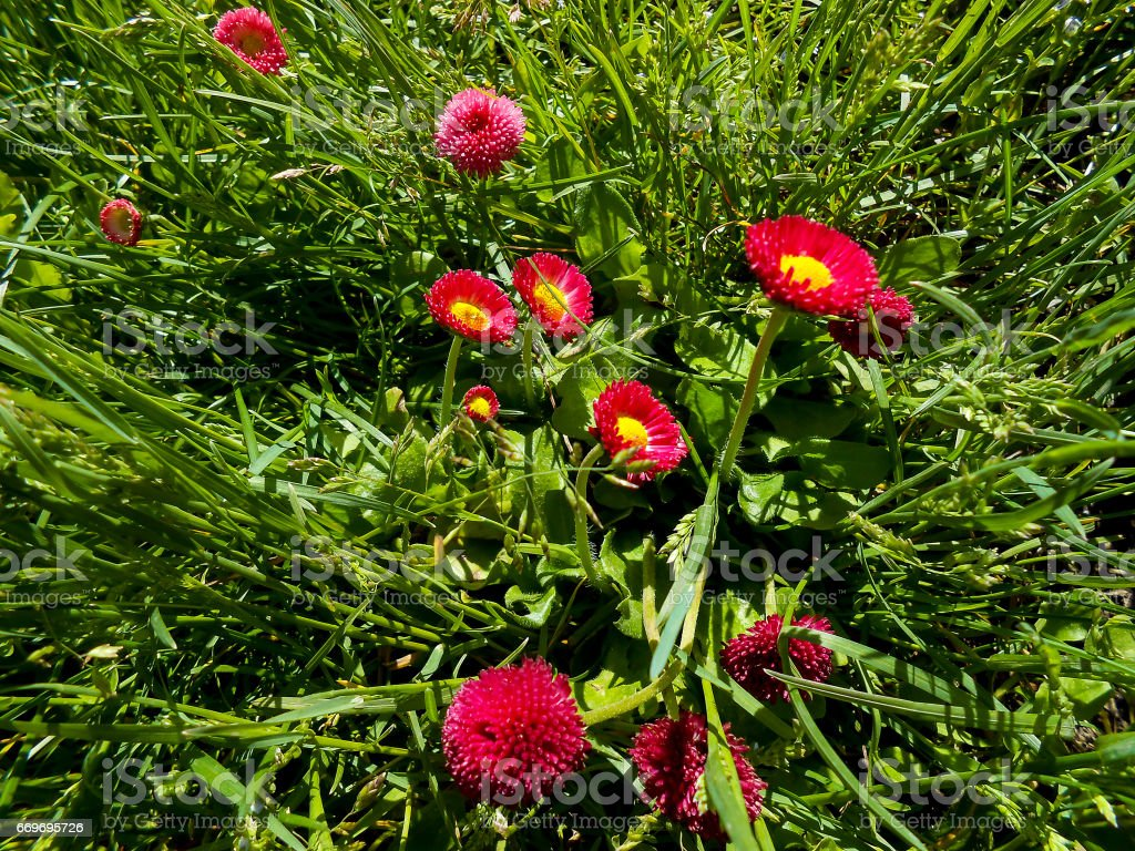 Fresh garden Pansy and daisy flowers stock photo