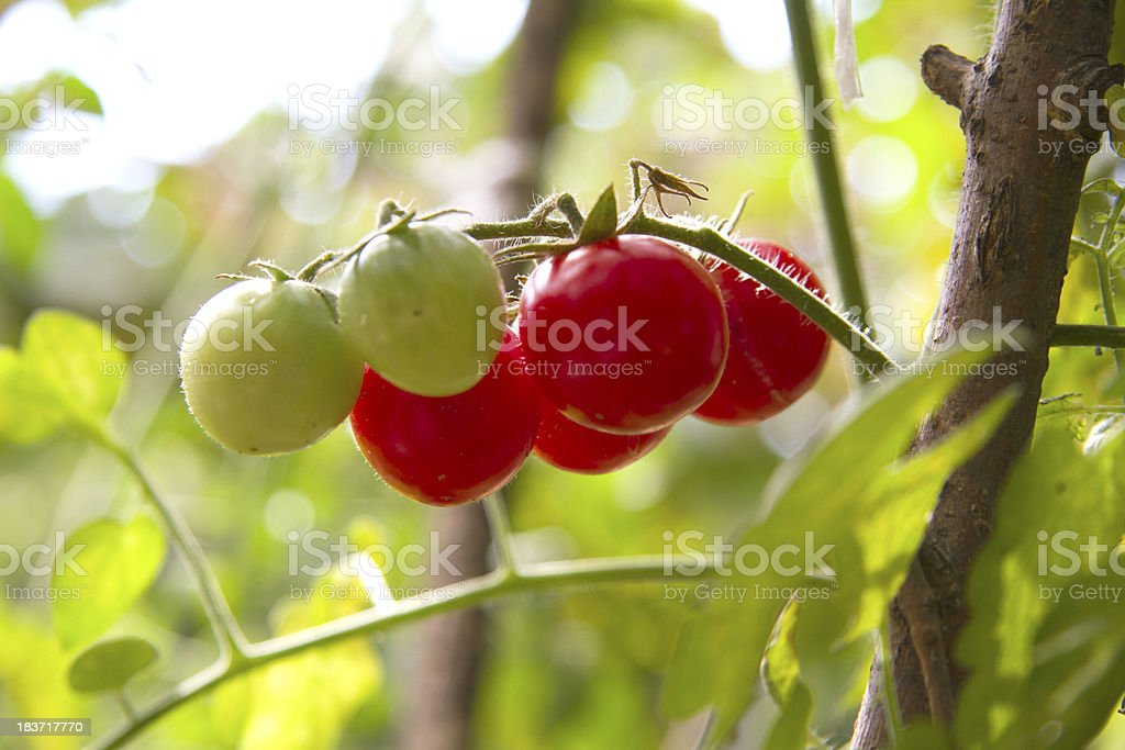 Fresh garden tomatoes ready for picking royalty-free stock photo