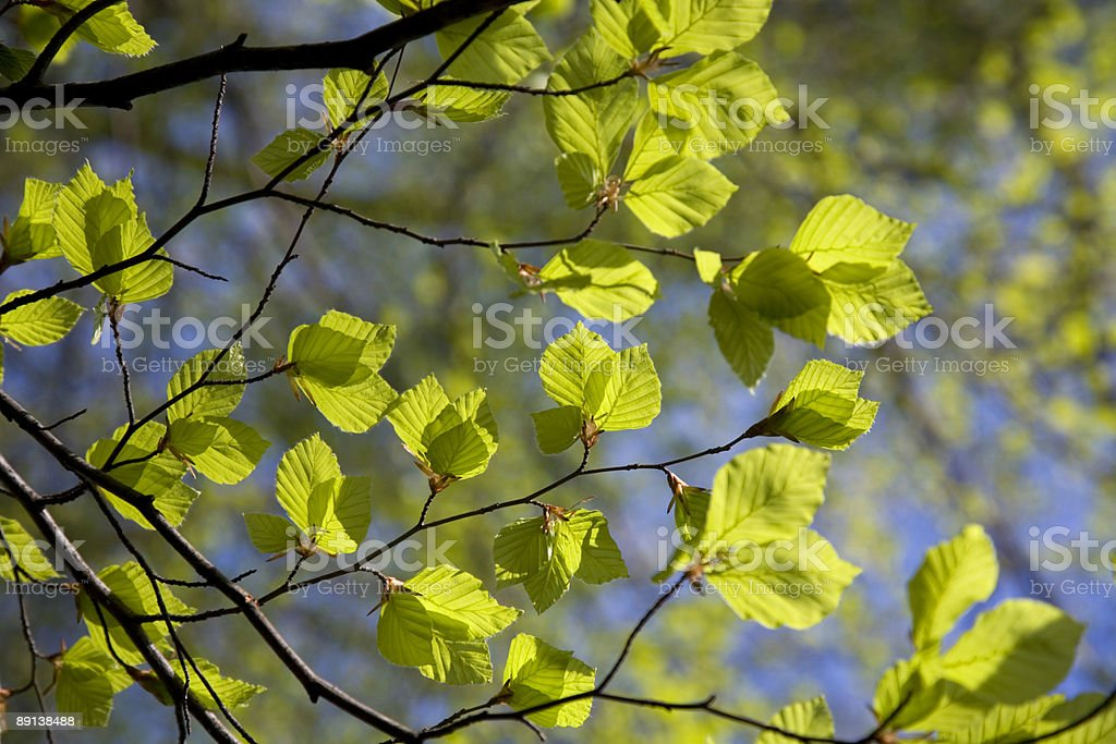 fresh geen leaves in the sun XL stock photo