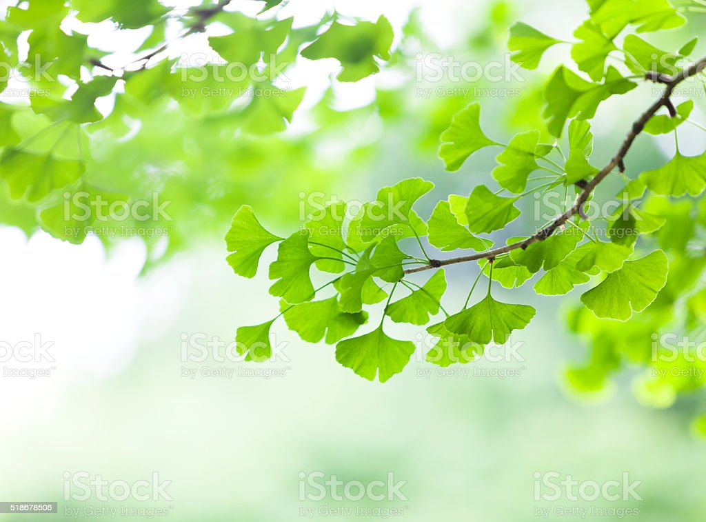 Fresh Ginkgo Leaves stock photo