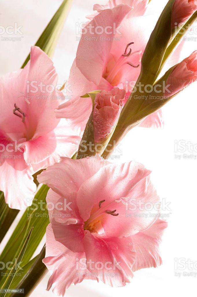 Fresh Gladioli stock photo