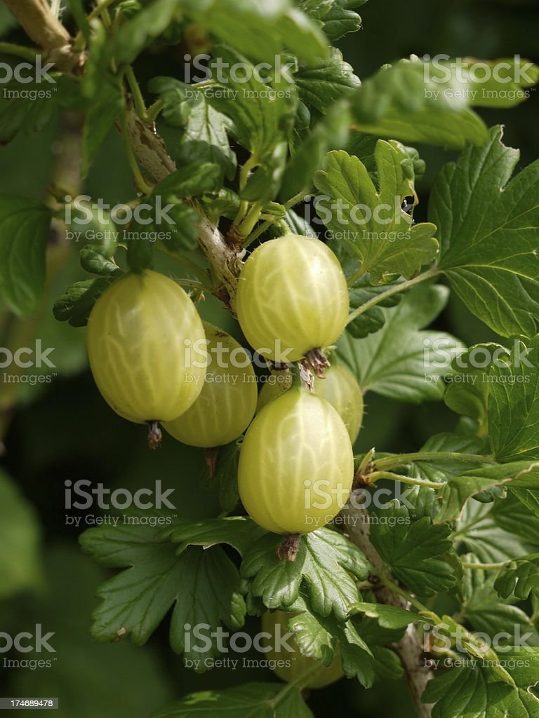 Fresh Gooseberries ripening on the bush with summer sun royalty-free stock photo