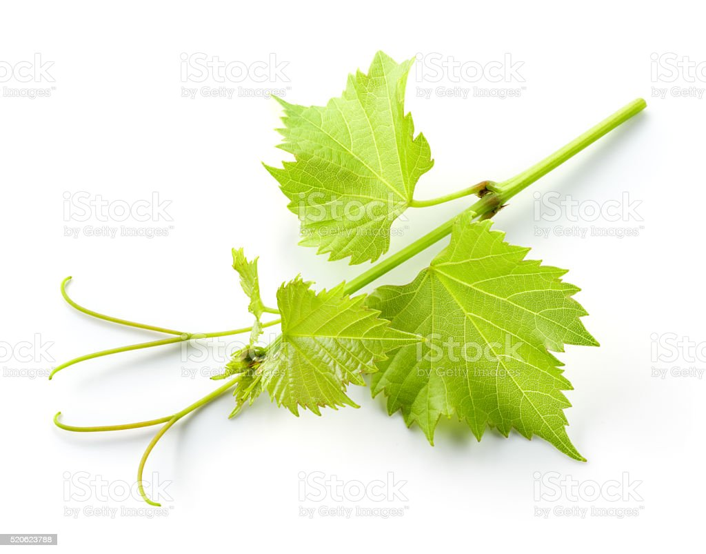 Fresh grape branch with leaves and tendrils isolated on white stock photo
