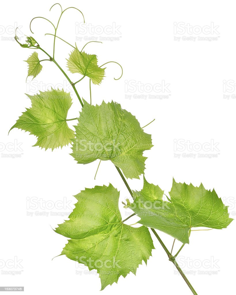 Fresh grape leaves isolated stock photo
