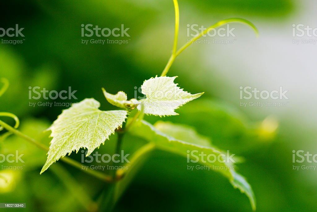 fresh grape leaves stock photo