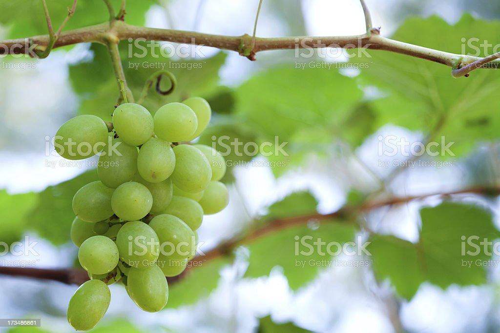 Fresh grape stock photo