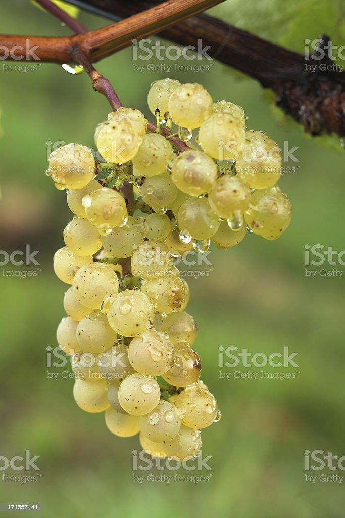 fresh grapes royalty-free stock photo
