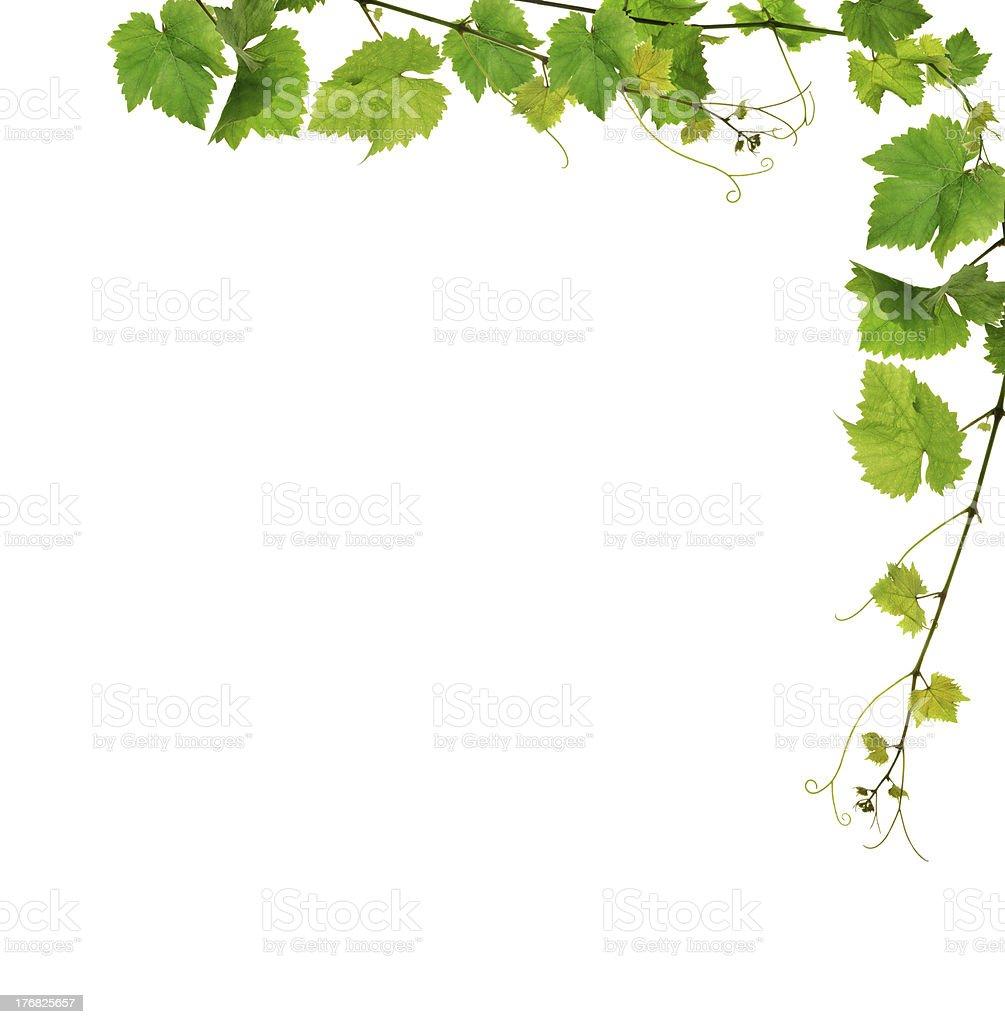Fresh grapevine border stock photo