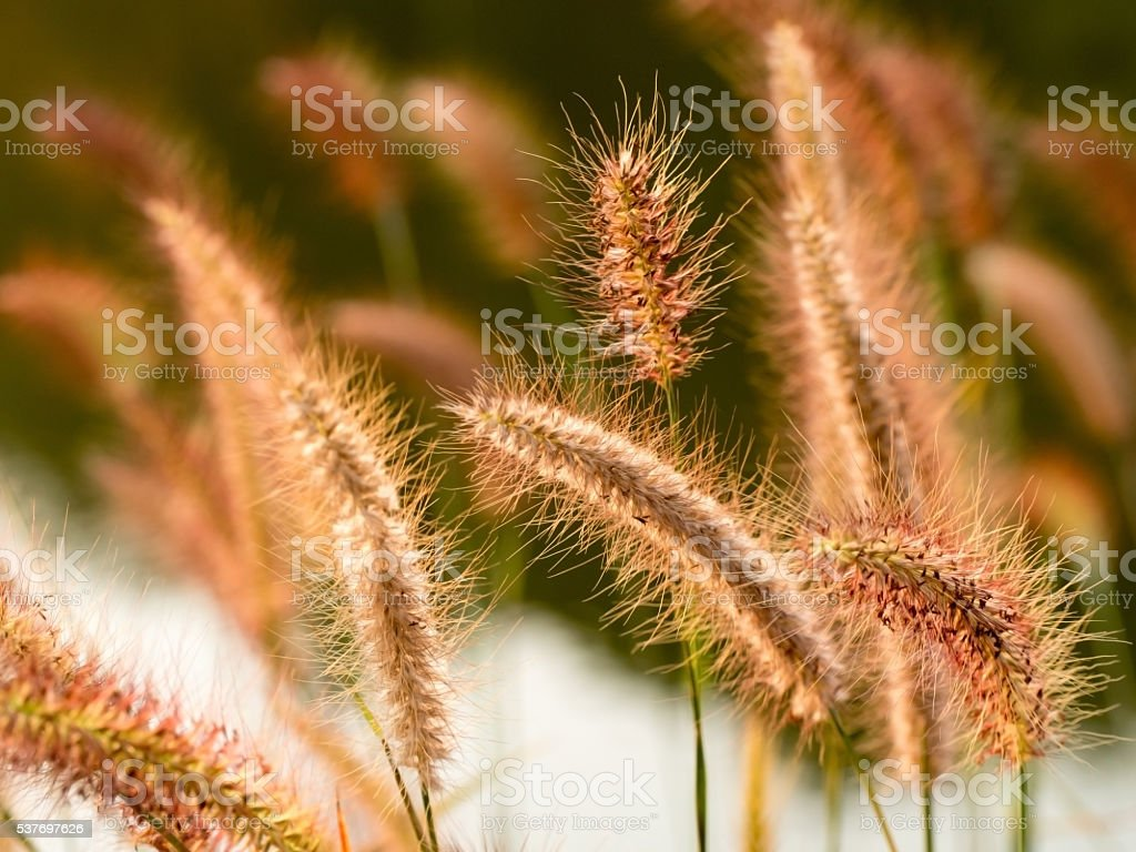 Fresh grass flower field in nature background. Imperata cylindrica Beauv stock photo