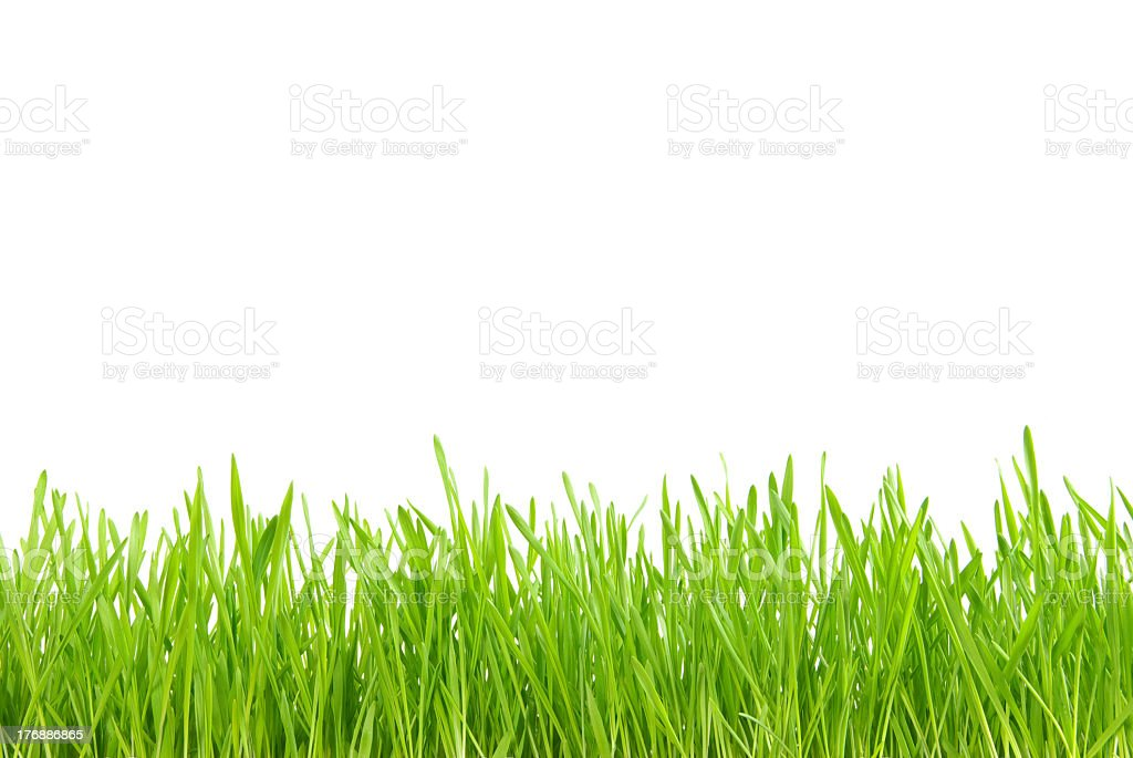 Fresh grass in a blank background royalty-free stock photo