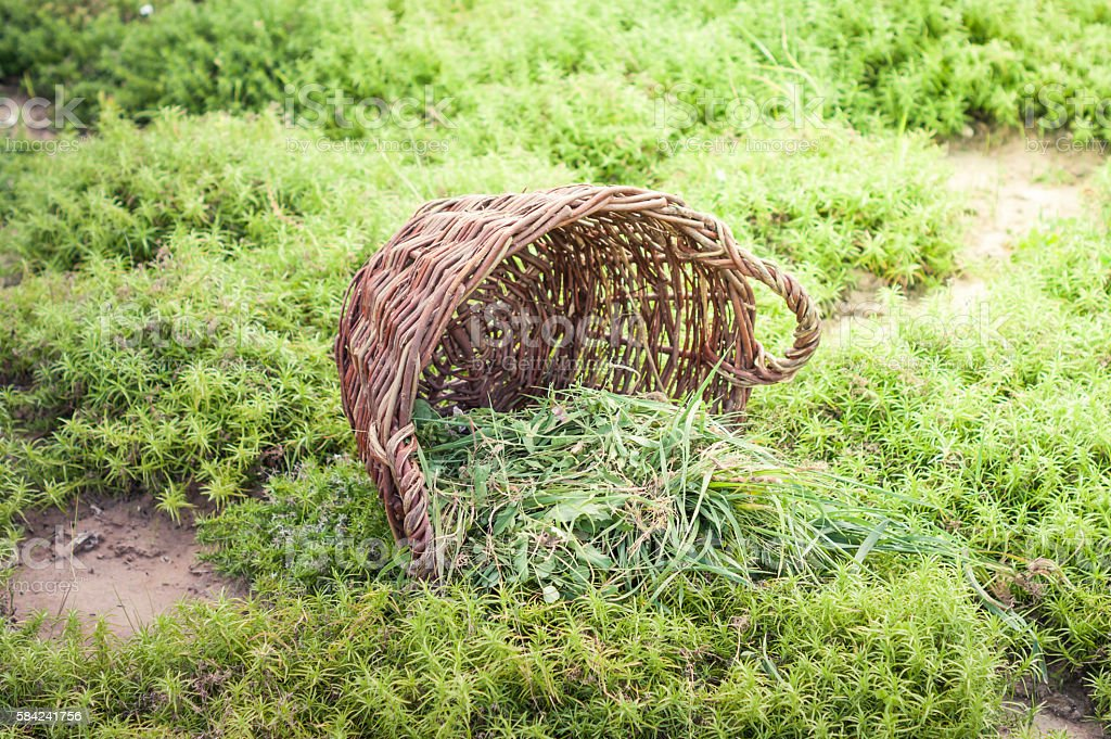 Fresh grass in basket and sickle. stock photo