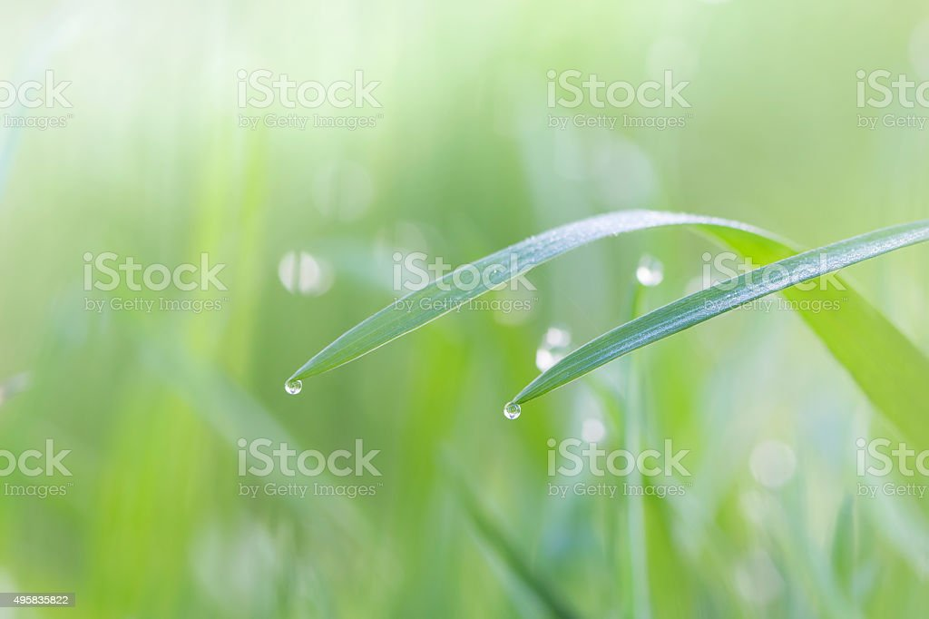 Fresh grass in the morning dew soft light background stock photo