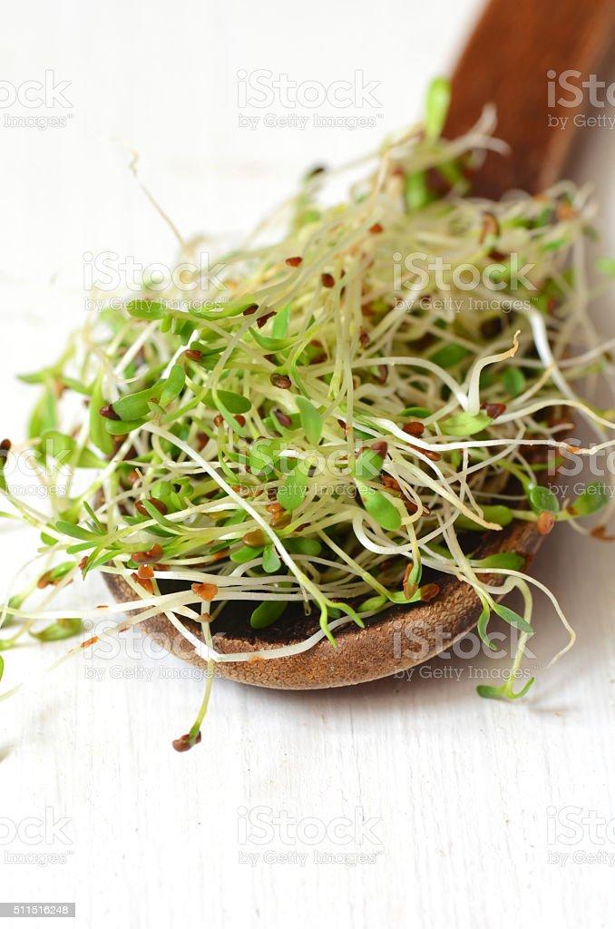 Fresh green alfalfa sprouts stock photo