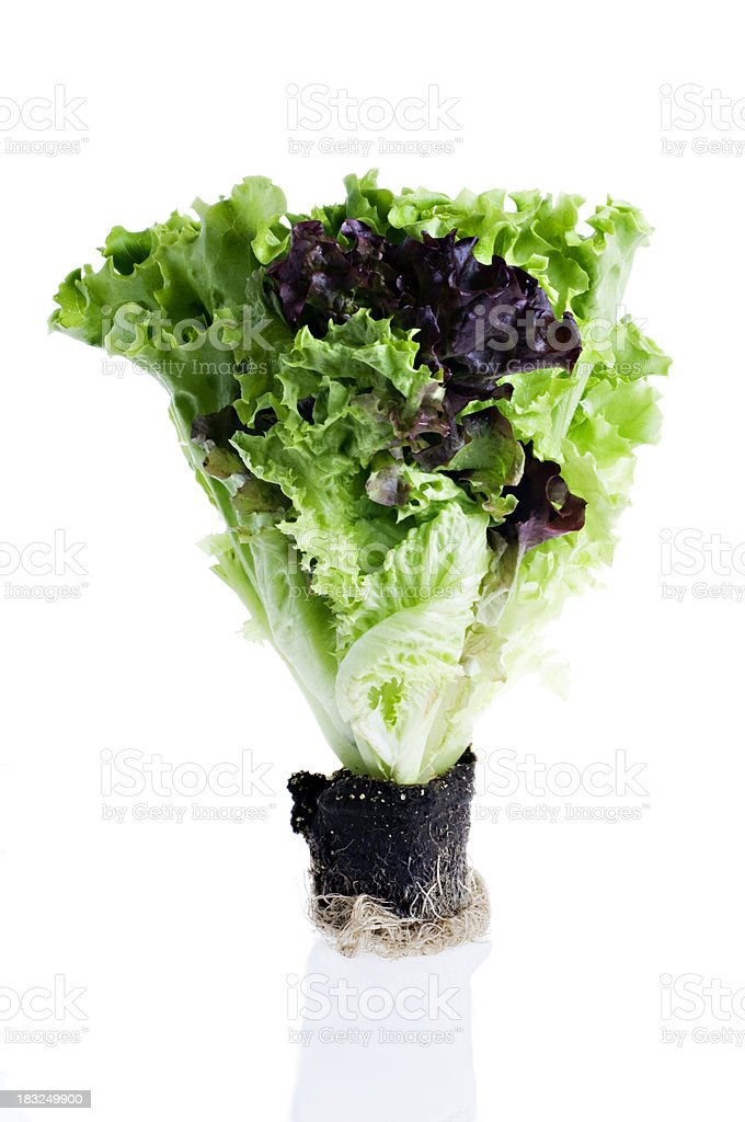 Fresh Green and Lollo Rosso Lettuce Isolated on White stock photo