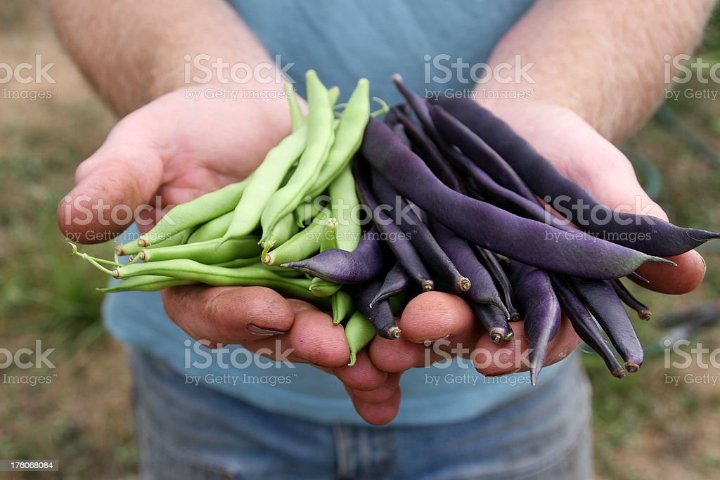 Fresh Green and Purple Beans royalty-free stock photo