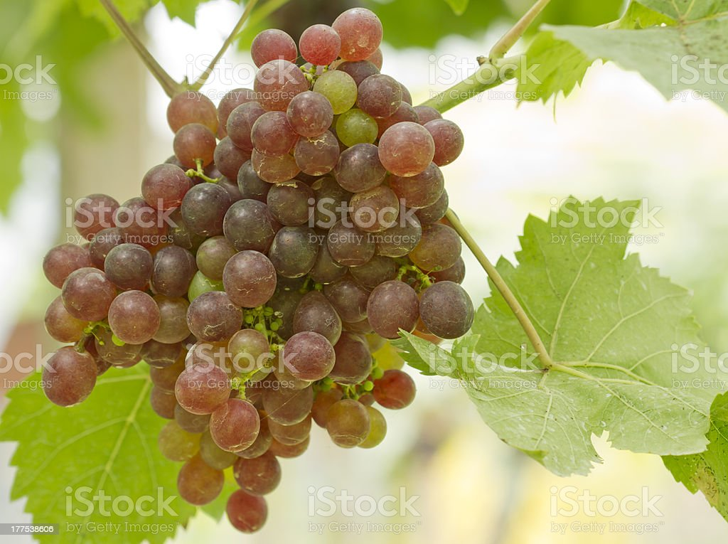 fresh green and red grapes stock photo