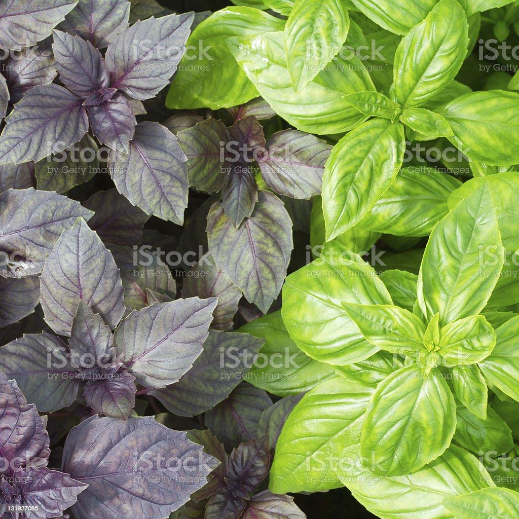 Fresh green basil leaves close-up stock photo