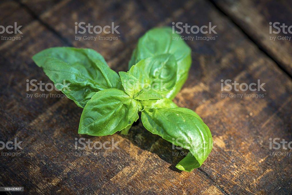 Fresh Green Basil leaves royalty-free stock photo