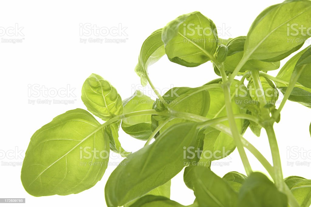 fresh green basil on white royalty-free stock photo