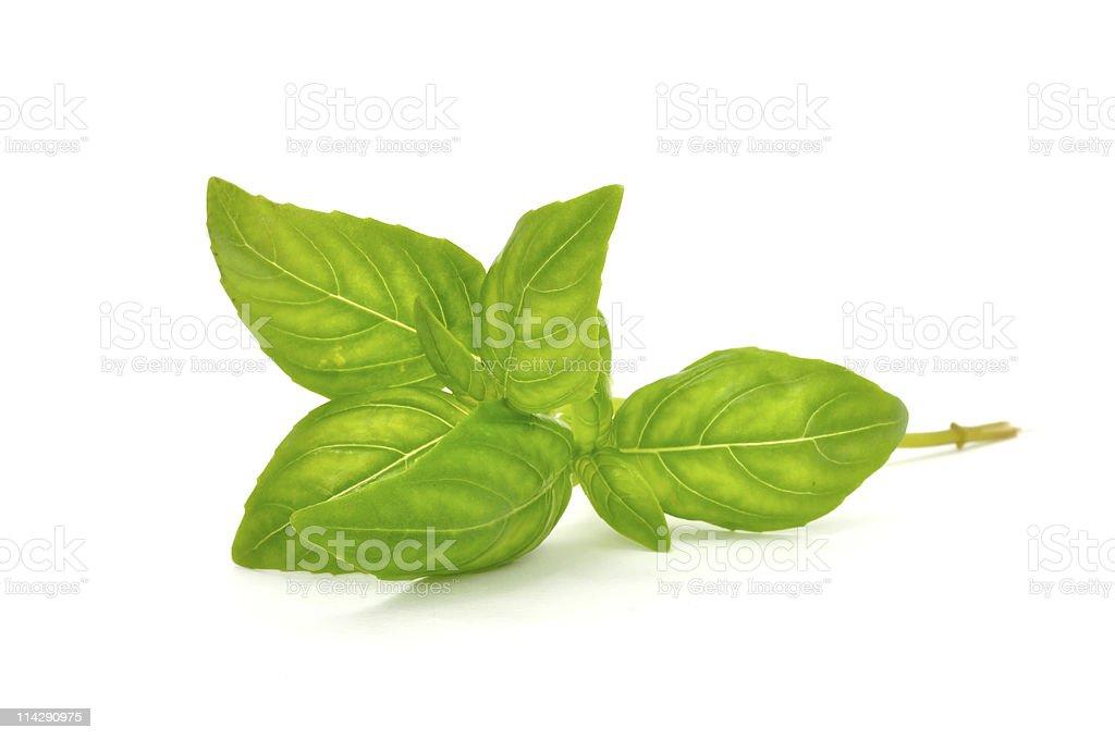 Fresh Green Basil royalty-free stock photo