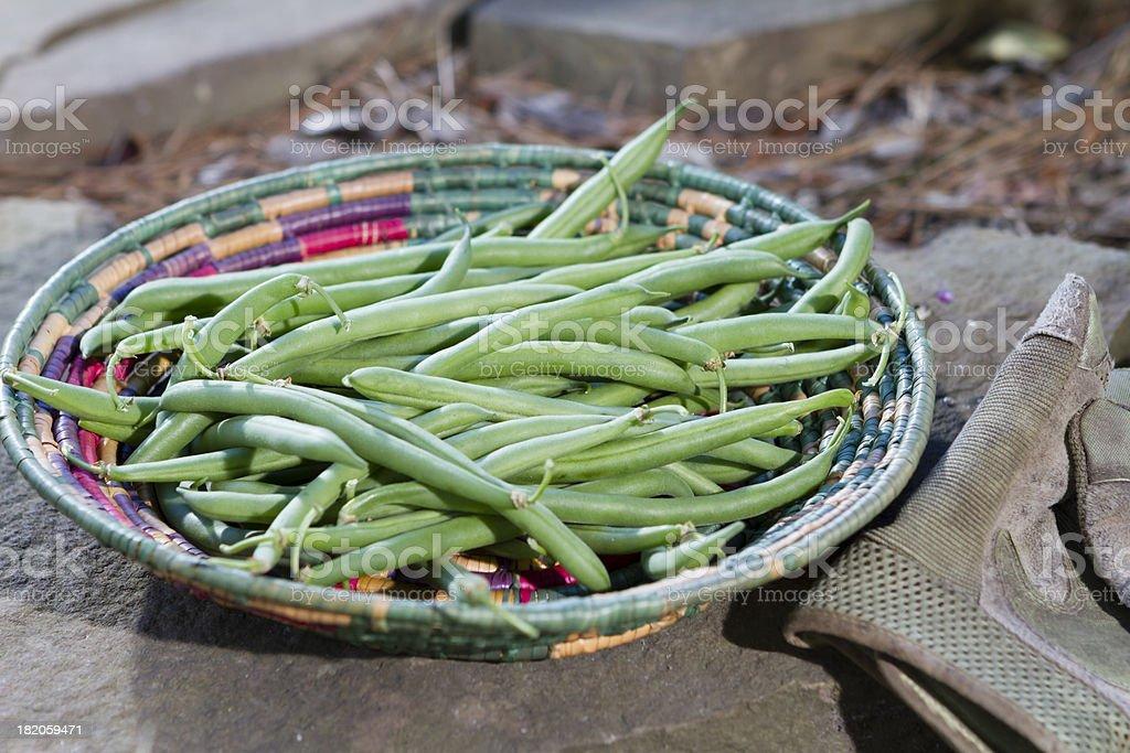 Fresh green beans fill a basket at the garden's edge. stock photo