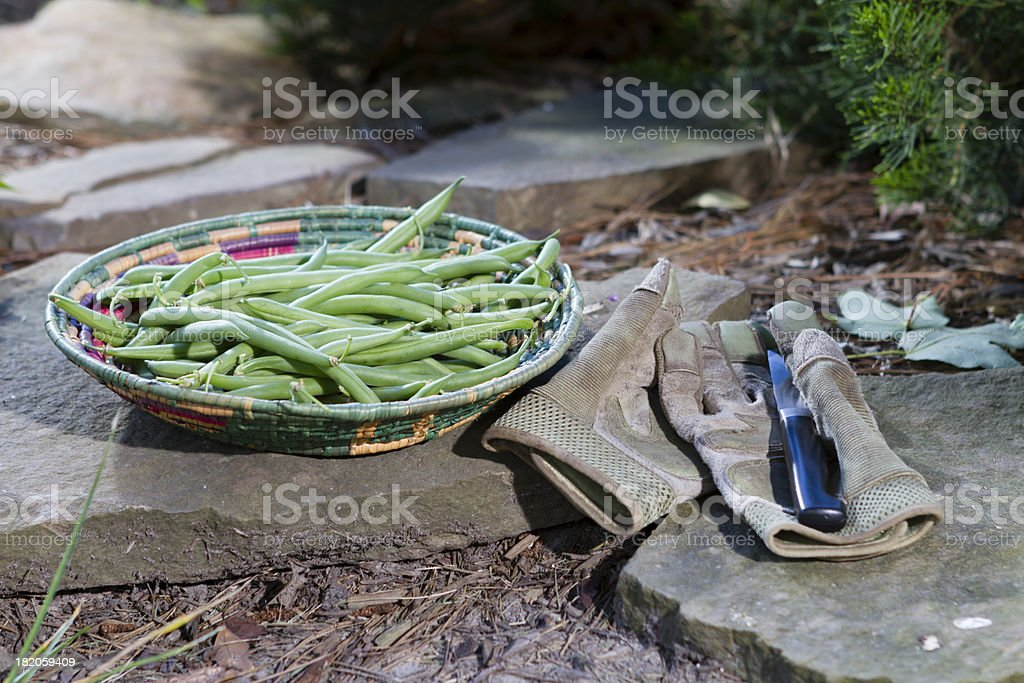 Fresh green beans in a basket at the garden's edge. stock photo
