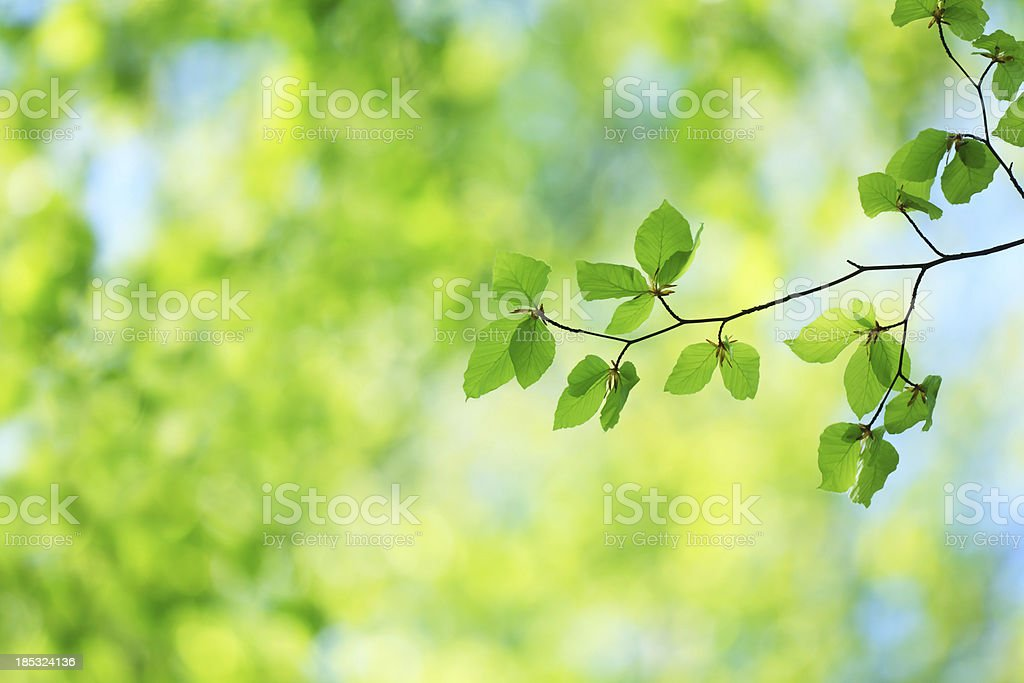 Fresh Green Beech Leaves royalty-free stock photo