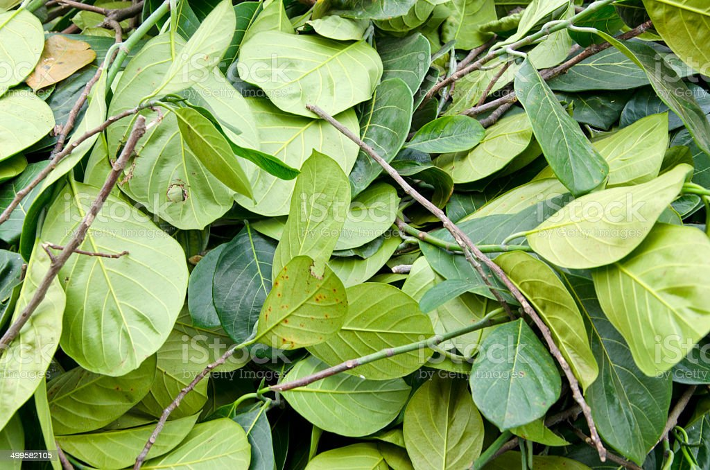fresh green betel leaves in  asia market background stock photo