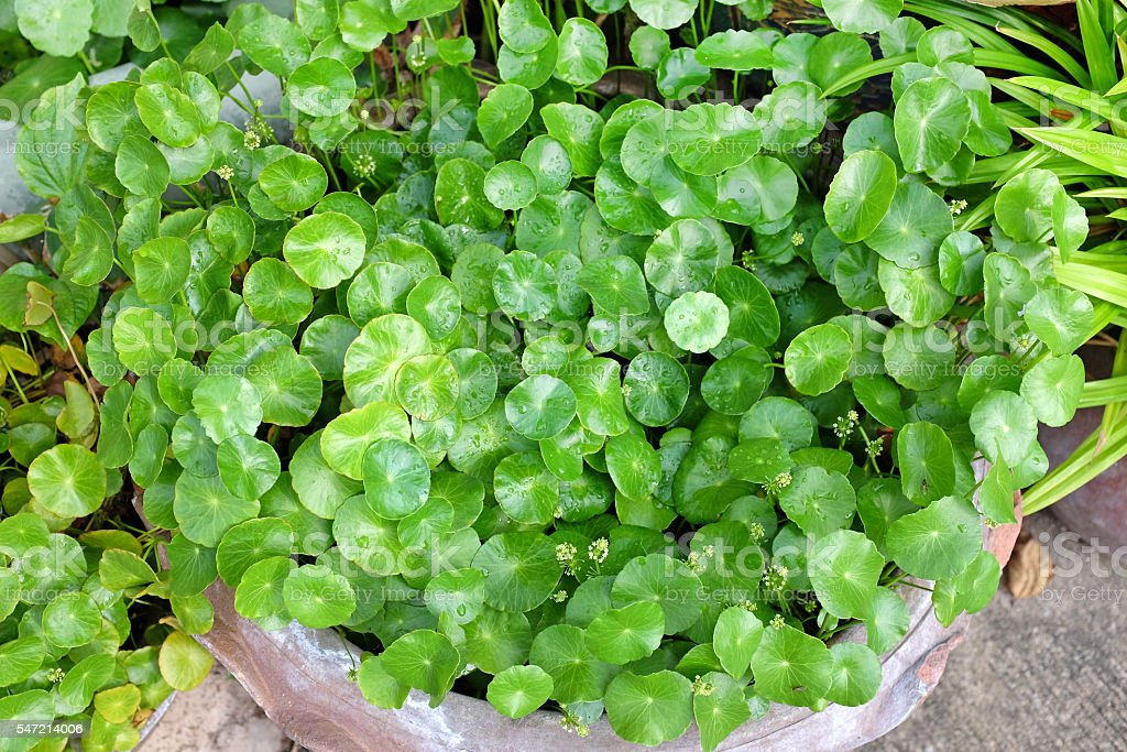 fresh green Centella asiatica plants with water drop on leaf stock photo