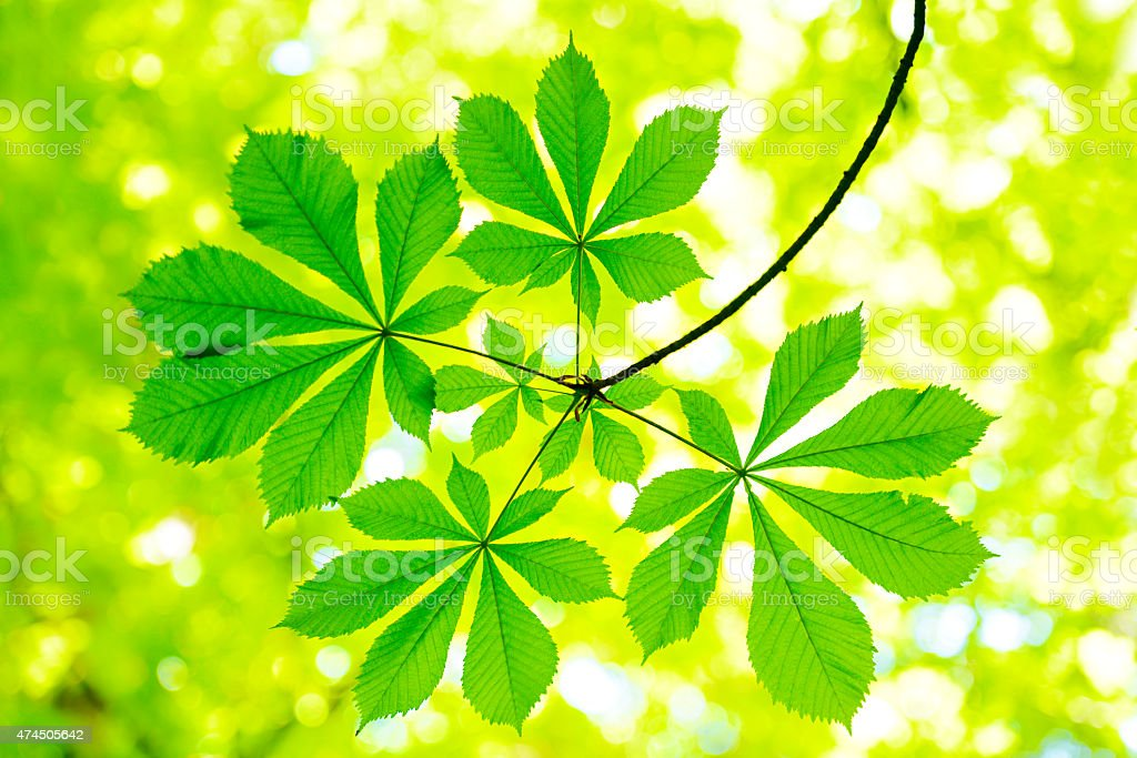 Fresh Green Chestnut Tree Leafs in Spring Forest stock photo