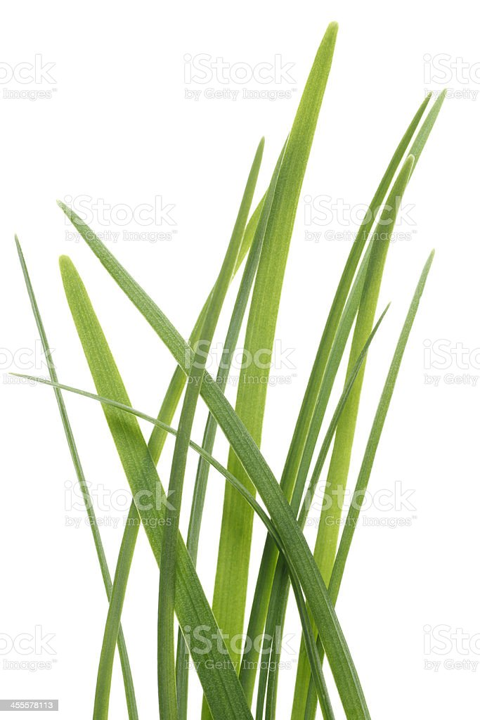 Fresh Green Chives Growing with White Background royalty-free stock photo