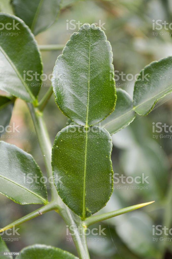 fresh green Citrus hystrix leaves stock photo