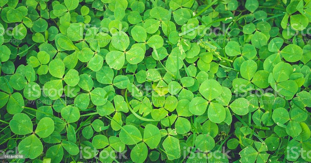 Fresh green clover stock photo