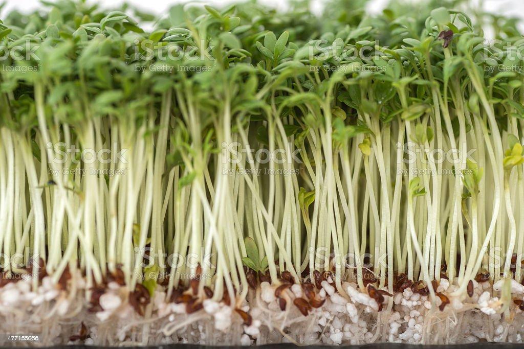 fresh green cress stock photo