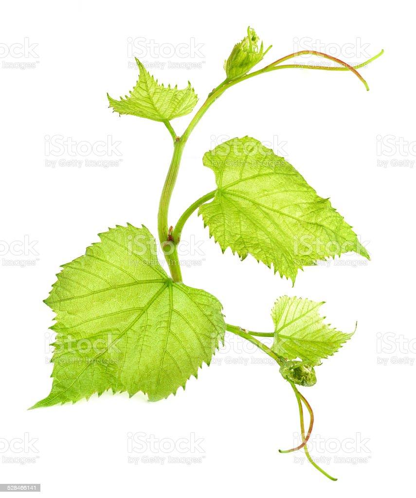 Fresh Green Grape Leaf stock photo